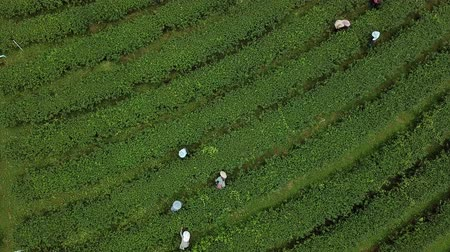 plantio : Aerial view green Tea plantation and the farmers in Thailand.
