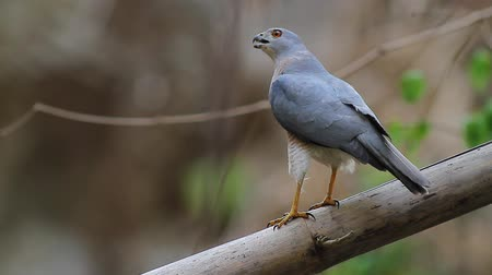 aves : Shikra male raptor birds in Thailand and Southeast Asia.
