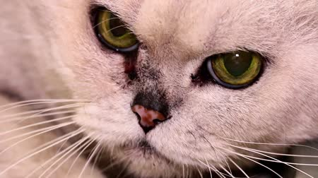 animal paws : old malicious sick thoroughbred cat of rare color