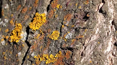 rough skin : lichen and moss on the bark of the old tree