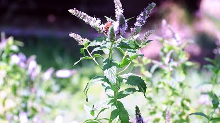 mélisse : bee collects nectar from peppermint flowers