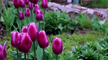 trvalka : delicate purple flowers tulips