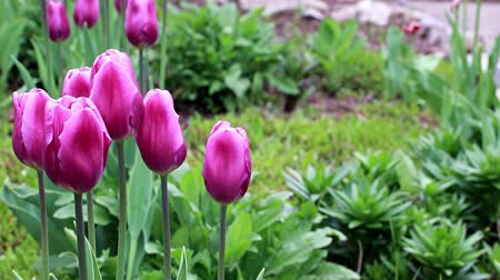 pory roku : delicate purple flowers tulips