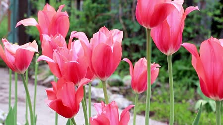 botanik : scarlet flowers tulips Stok Video
