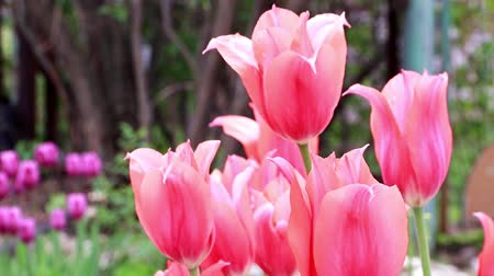 holandês : scarlet flowers tulips Stock Footage