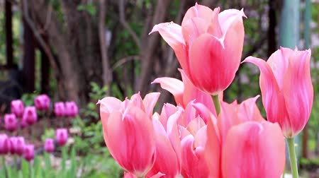 scarlet flowers tulips 動画素材