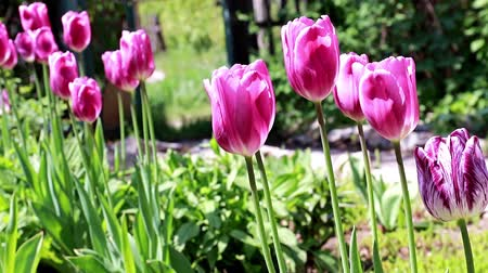 perene : beautiful purple tulips