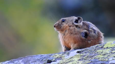 valoun : Pika. Little mouse sitting on a stone.