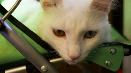 melanin : White cat lying in the pram and screws up his eyes, falling asleep. Sunlight falling on the object. Indoors, daylight, big shot
