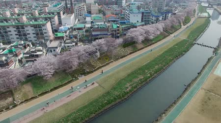 kersenbloesem : Cherry Blossom Blooming Spring of Oncheoncheon Citizen Park, Dongraegu, Yeonjegu, Busan, Zuid-Korea, Azië wanneer 29-mrt-2017