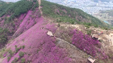 wspinaczka górska : Cheonjusan Mountain Jindallae Azalea Flower Blooming , Changwon, Gyeongsangnamdo, South Korea, Asia when Apr-11-2018