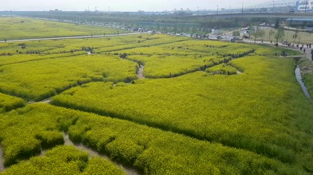 rape : Yuchae Canola Flower Festival in Nakdong river, Busan, South Korea, Asia when Apr-11-2018