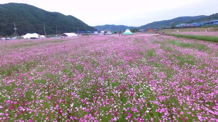 grano saraceno : Bukcheon Cosmos and Buckwheat Flower Festival in Hadong, Gyengsangnamdo, South Korea, Asia