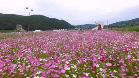 trigo sarraceno : Bukcheon Cosmos and Buckwheat Flower Festival in Hadong, Gyengsangnamdo, South Korea, Asia
