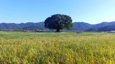 outsider : Wangtta Bully Zelkoba Tree in Yaro, Hapcheon, Gyeongnam, South Korea, Asia