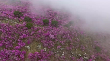 flor rosa : Misty Cloudy Biseul Mountain, Daegu, Corea del Sur, Asia. Archivo de Video