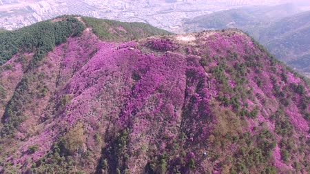 bloesemboom : Cheonjusan Mountain Jindallae Azalea Flower Blooming, Changwon, Gyeongnam, Zuid-Korea, Azië. Stockvideo