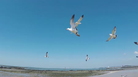 efsane : Flying Seagull Eat Shrimp Snack, Muchangpo Beach, Boryeong, Chungnam, South Korea, Asia. Stok Video