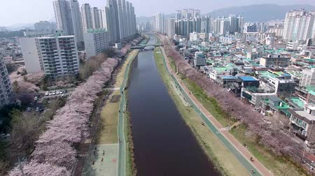 абрикосы : Cherry Blossoms Blooming in Oncheoncheon Citizens Park , Busan, South Korea, Asia.
