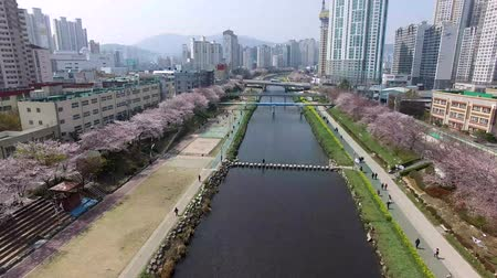 damascos : Cherry Blossoms Blooming in Oncheoncheon Citizens Park , Busan, South Korea, Asia.