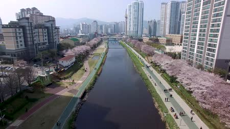 korejština : Cherry Blossoms Blooming in Oncheoncheon Citizens Park , Busan, South Korea, Asia.