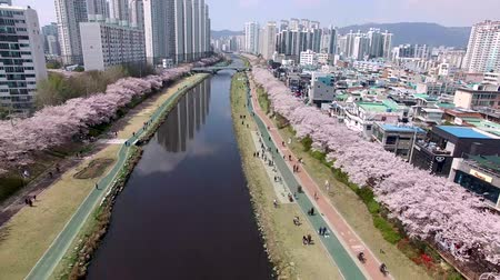 damascos : Cherry Blossoms Blooming in Oncheoncheon Citizens Park, Busan, South Korea, Asia.