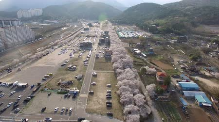 Aerial View of Cherry Blossoms Blooming in Jakcheonjeong, ulju, Ulsan, South Korea, Asia.