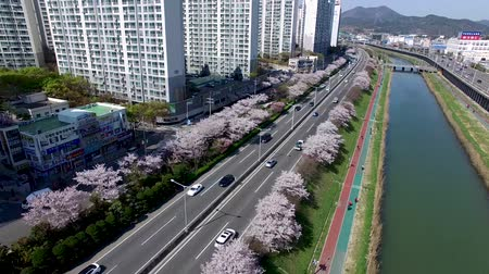 Luchtfoto van Cherry Blossoms Blooming in Suyeonggang River, Busan, Korea.