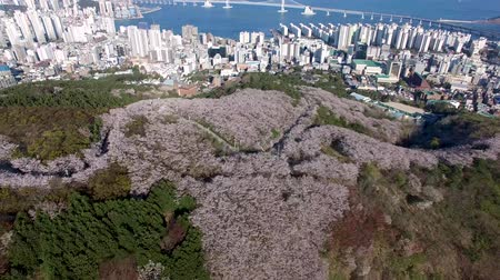 Aerial View of Cherry Blossoms Blooming in Geumryeonsan Mountain, Busan, Korea. Стоковые видеозаписи