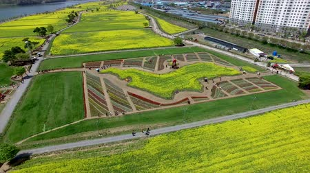 Aerial View of Yuchae Canola Flower Festival in Namji, Changnyeong, Gyeongnam, South Korea, Asia.