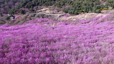 Aerial View of Jindallae Azalea Blooming in Hwawangsan Mountain, Changnyeong