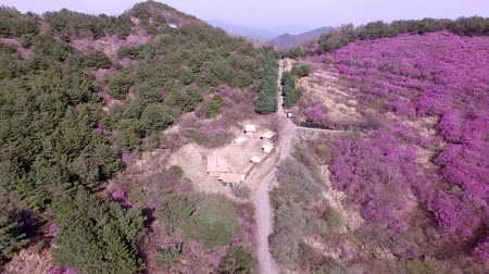 bloesemboom : Luchtfoto van Jindallae Azalea bloeien in Hwawangsan Mountain, Changnyeong Stockvideo