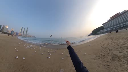 gaivota : Seagulls in Haeundae Beach, Busan, South Korea Asia.