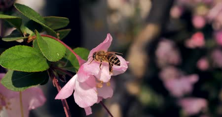 huni : Close-up of honey bee on pink flower on sunny day Stok Video