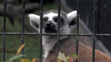 madagaskar : Portrait of lemur behind the cage at the zoo, 4k