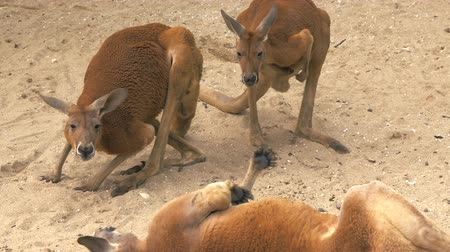 savanna : Close-up of adult red kangaroos scratching itself and lying on the sand and resting at the zoo, 4K