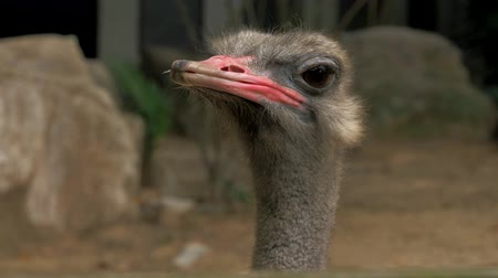 pštros : Close-up view of ostrich head in zoo, blured background