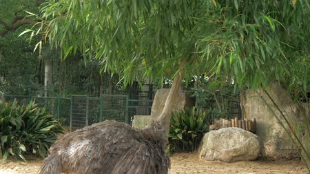 pštros : Ostrich in the zoo. The long necked ostrich eating tree leaves