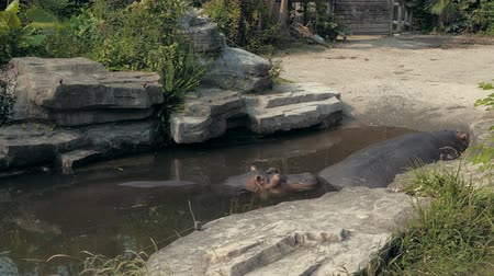 territorial : Close-up of hippopotamus sleeping in pond on sunny day