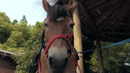 díszgomb : Close-up view of face of stallion on a leash.