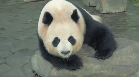 gigante : Close-up of resting giant panda bear, panda sleeps on the stone at zoo on hot day