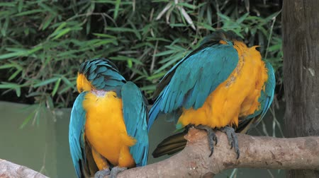 arara : Portrait of colorful Macaw parrot sitting on the tree branch against jungle background, blue-and-yellow macaw lat. Ara ararauna close-up
