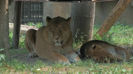 taranmamış : Lion and lioness laying down on the shadow under a awning in zoo on a bright, hot, sunny day Stok Video