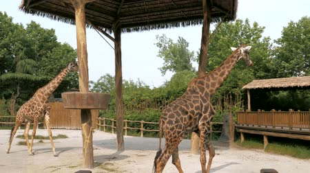 копытный : Giraffes are walking in zoo on sunny summer day