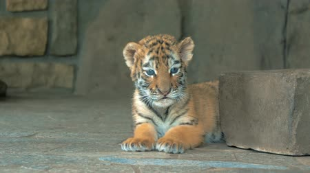 кусаться : Close-up of cute little blue eyes tiger cub in zoo