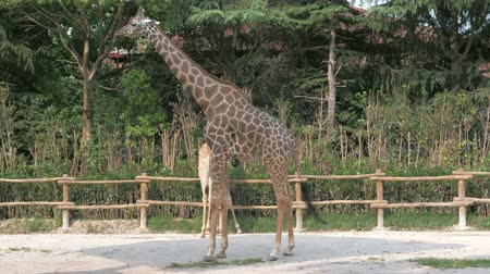 ungulado : Giraffes are walking in zoo on sunny summer day