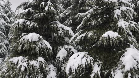 snow covered spruce : Close up view of snow falling at the fir trees branches. Snow falls from pine tree branch in a forest