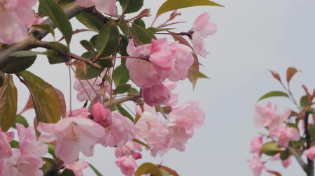 абрикосы : Close-up slow motion shot of springtime peach tree blossoms swaying in the wind. Beautiful pink blossoming peach trees. Стоковые видеозаписи