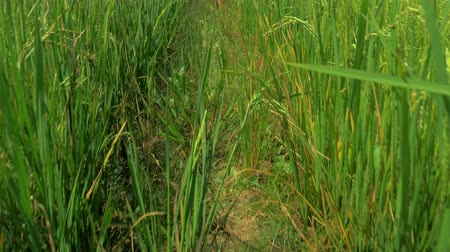 stonky : Gimbal stedicam shot of ears of rice in the rice field. Close-up of dry husked seeds on rice plant. Beautiful ripe crops on plantation. Food cultivation in Asia. Palalwan island, Philippines. Dostupné videozáznamy