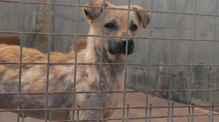 be sad : Portrait of sad dog in shelter behind fence waiting to be rescued and adopted to new home. Shelter for animals concept